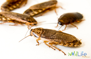 How To Breed Cockroaches