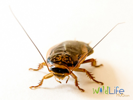 Speckled Cockroach Nauphoeta Cinerea Front View Edit