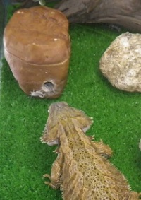 Breeding Crickets for Bearded Dragons