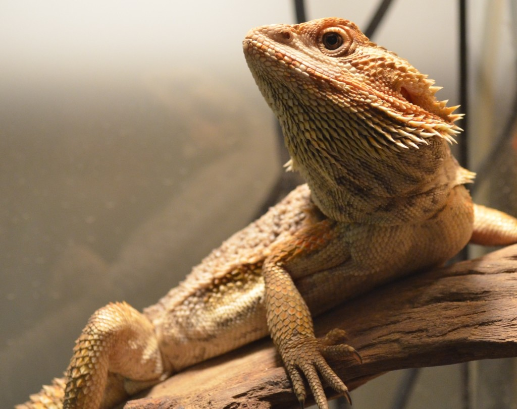 Feeder Insects for Bearded Dragons