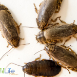 Conventional Cockroach Breeding Methods